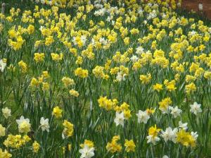 daffodils on hill