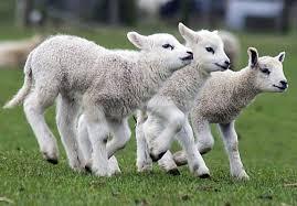 Lambs Nephews