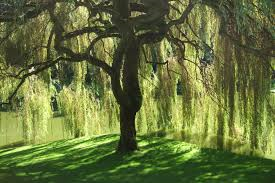 Willow Tree 1
