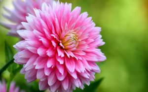 Dahlia pink 1