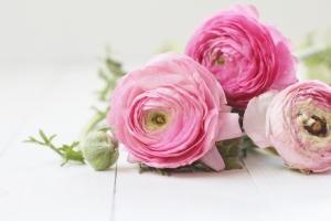 Ranunculus pink 1