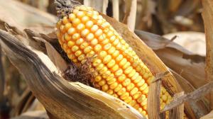 Corn Field 2